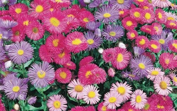 Разноцветные ромашки фото