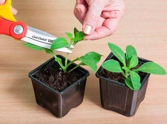 Как посеять петунию на рассаду
