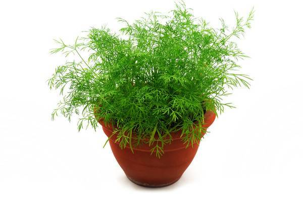 Как выращивать зелень в домашних условиях зимой