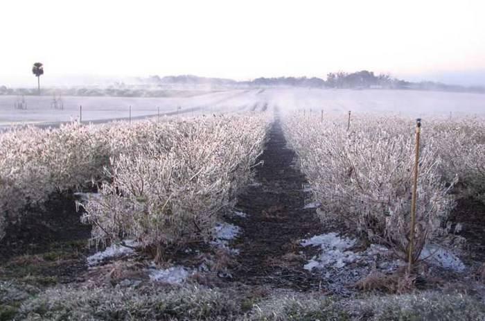 Уход за голубикой осенью подготовка к зиме