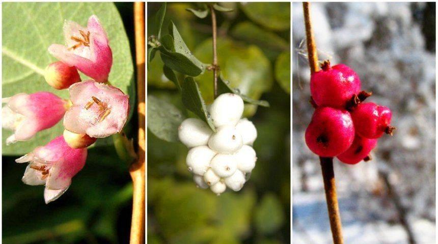 Снежноягодник розовый фото