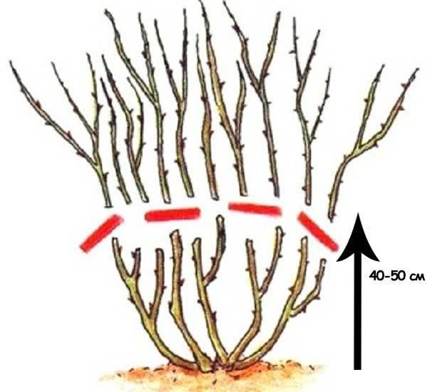 Как правильно обрезать плетистую розу на зиму