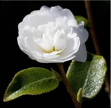 Миддлберийская розовая камелия фото
