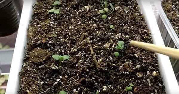 Ранункулюс из семян