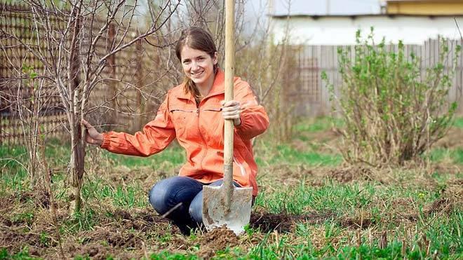 Когда можно пересаживать деревья осенью