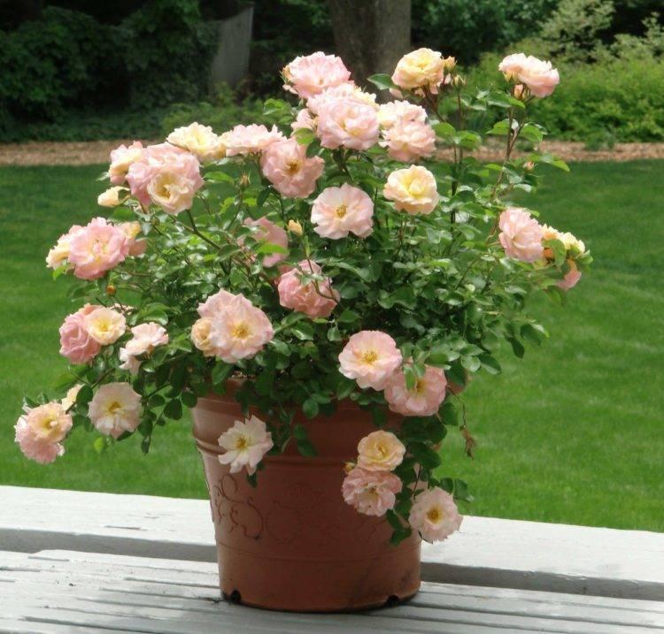 Декоративная роза фото