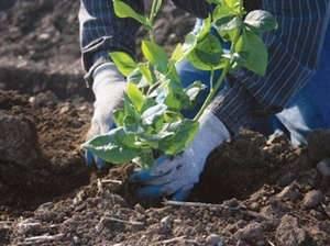 Как растет голубика садовая