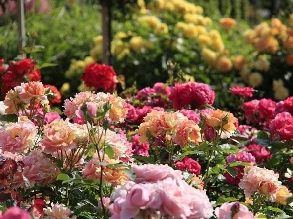 Укоренение черенков роз в домашних условиях