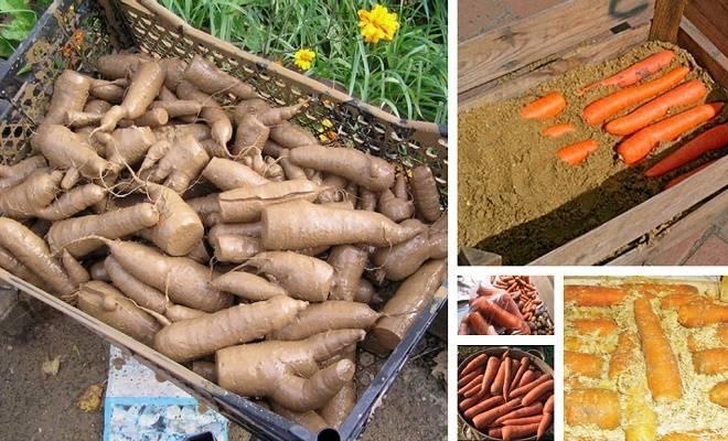 Когда выкапывать морковь и свеклу на хранение