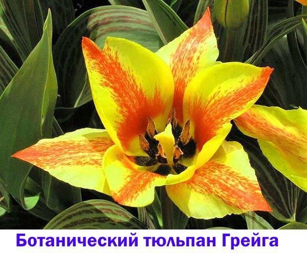 Зеленые тюльпаны фото