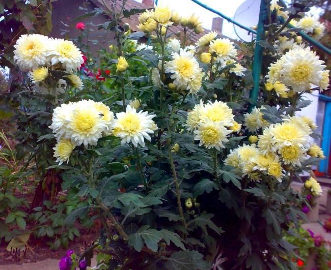 При какой температуре хранить хризантемы