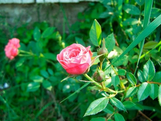 Розы миниатюрные посадка и выращивание в саду