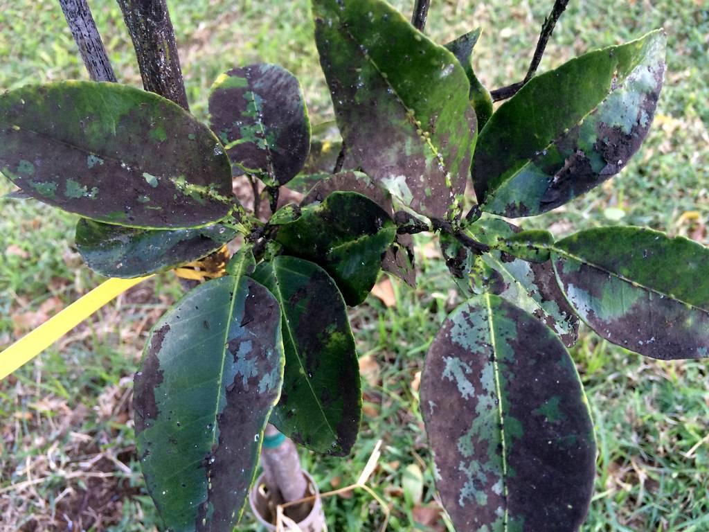 Сажистый грибок на яблоне лечение