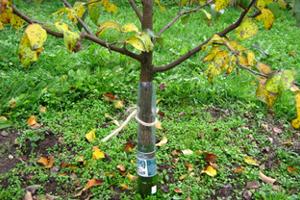 Защита яблонь от грызунов зимой