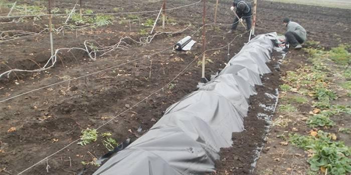 Укладка винограда на зиму