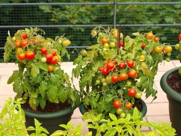 Балконные помидоры выращивание