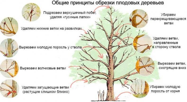 Уральское наливное яблоня фото