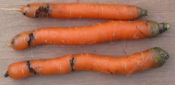 Средство от морковной мухи