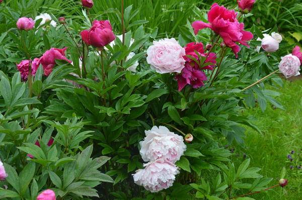 Мадам роза пионы