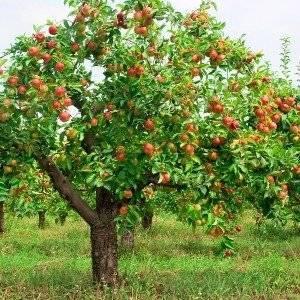 Высота яблони