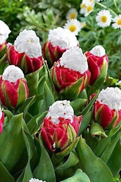 Тюльпаны пломбир фото