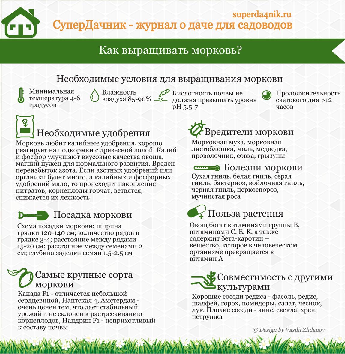 Как вырастить морковь: инфографика
