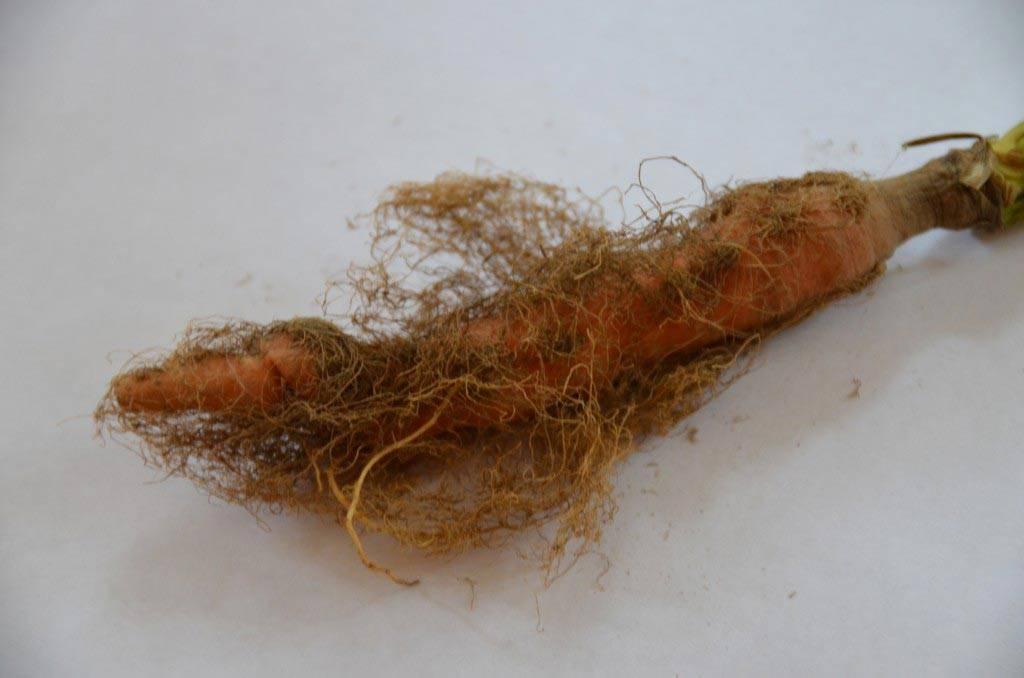 Сухость моркови