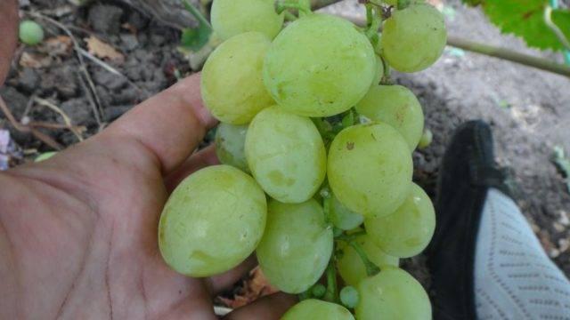 Сорта белого винограда фото