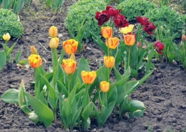 Как посадить луковицы тюльпанов осенью
