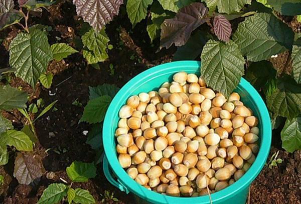 Схема посадки фундука в саду