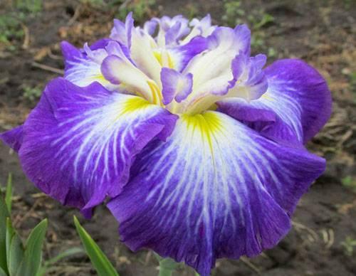 Как выглядит цветок ирис фото