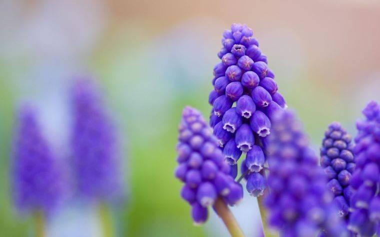 Цветы мускари фото