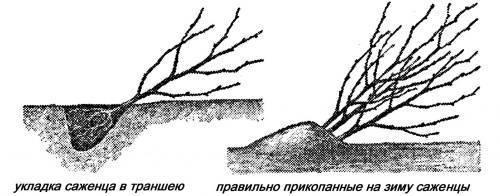 Когда лучше сажать вишню осенью или весной