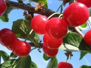 Какой сорт вишни выбрать для подмосковья