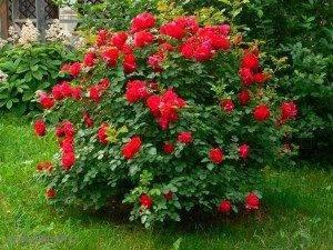 Неприхотливые розы для дачи