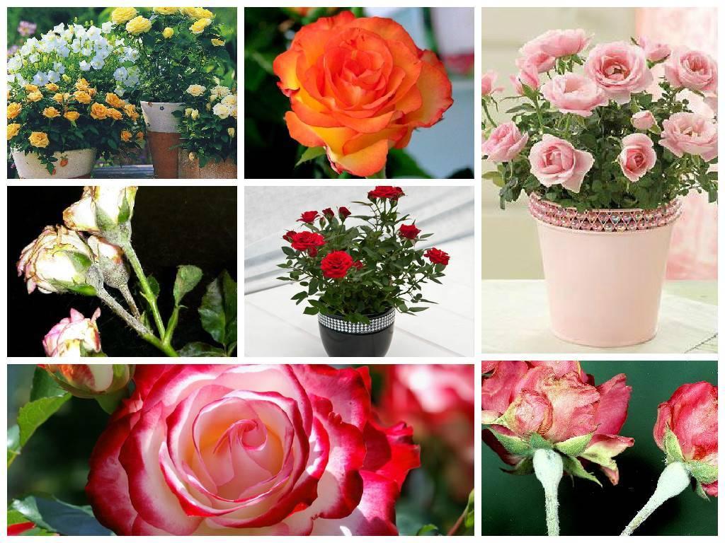 Болезни комнатных роз фото описание и лечение