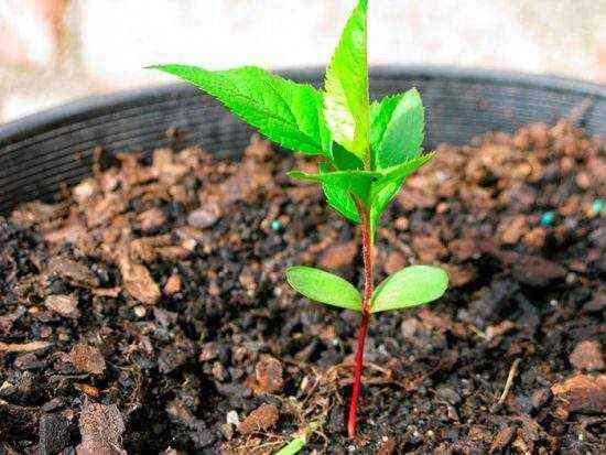 Выращивание подвоя яблони из семян