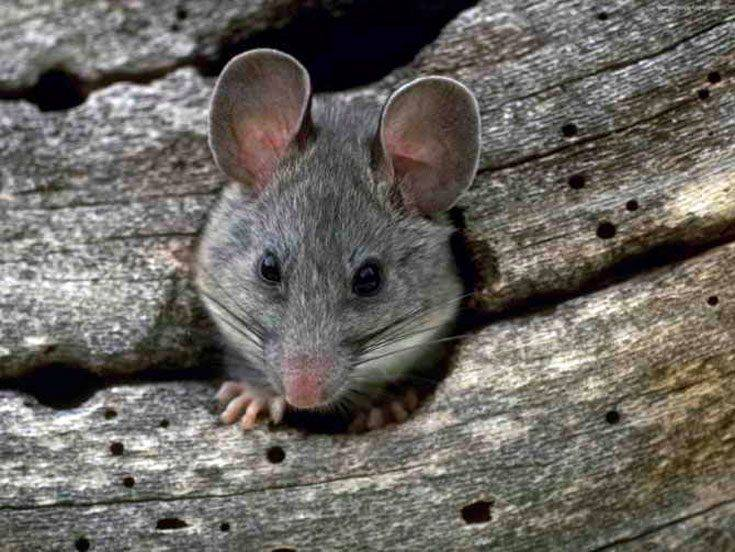 Лучшее средство от мышей на даче