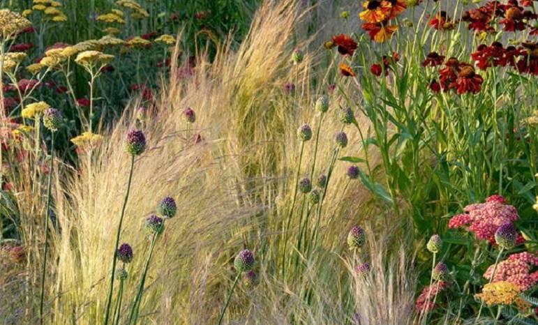Ковыль фото растения
