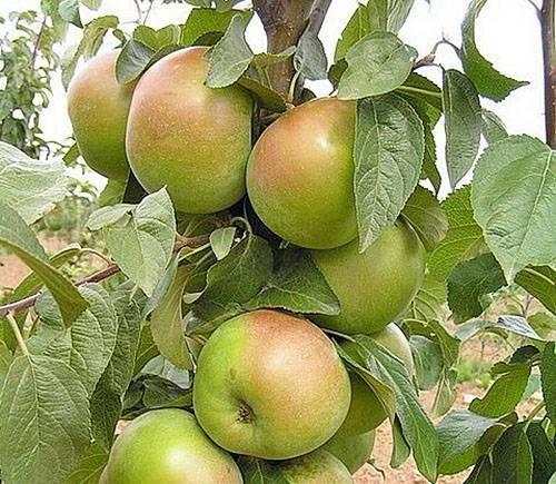 Поздние сорта яблонь для северо запада