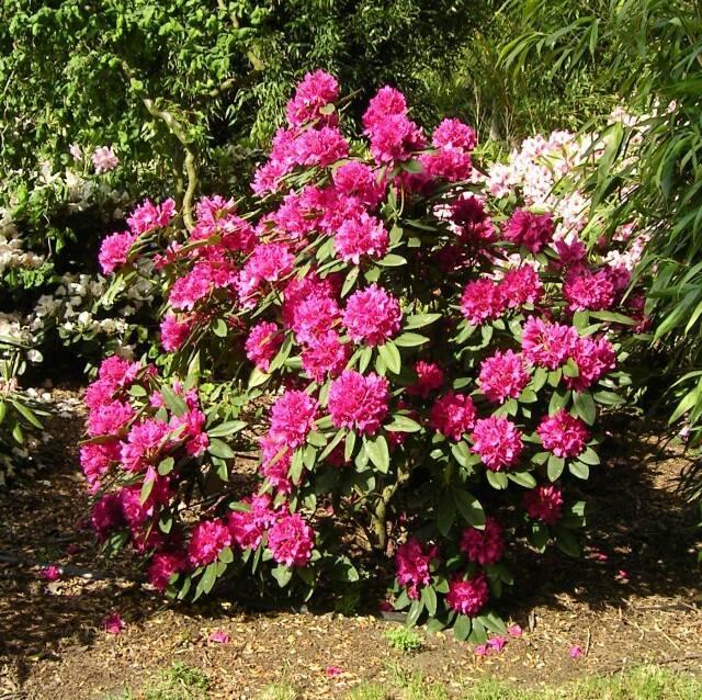 Цветы рододендроны фото