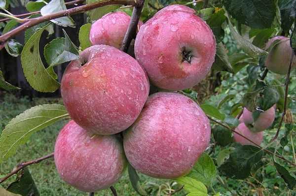 Какие зимние сорта яблонь стоит посадить