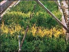 Размножение деревьев черенками