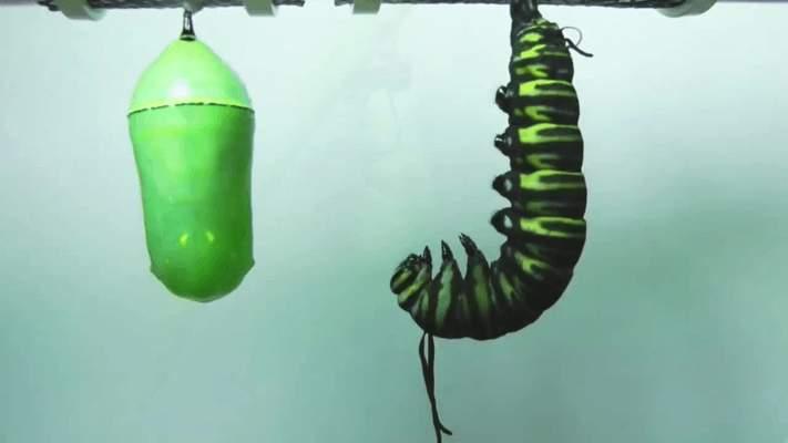 Как появляются гусеницы