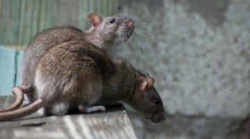 Какая трава отпугивает мышей и крыс