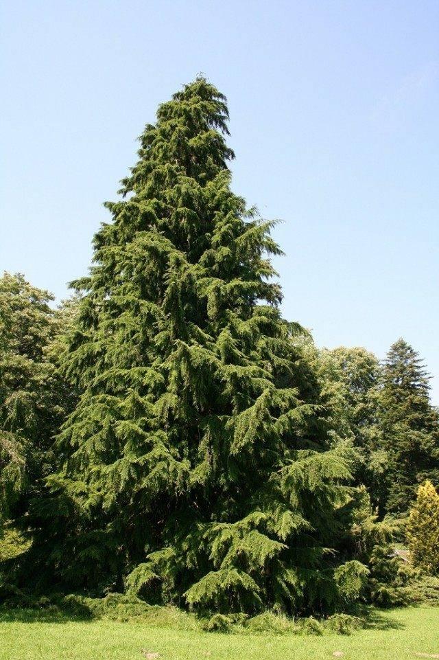 Хемлок дерево