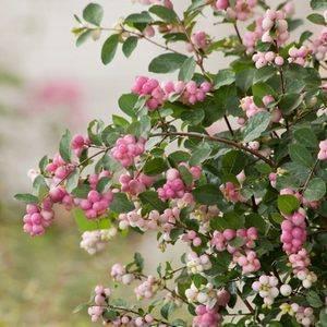 Кустарник с белыми ягодами осенью