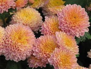 Шаровидные хризантемы как сохранить зимой