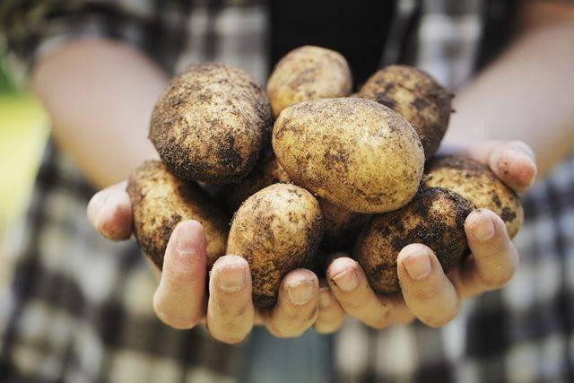 Картопля мелоді характеристика