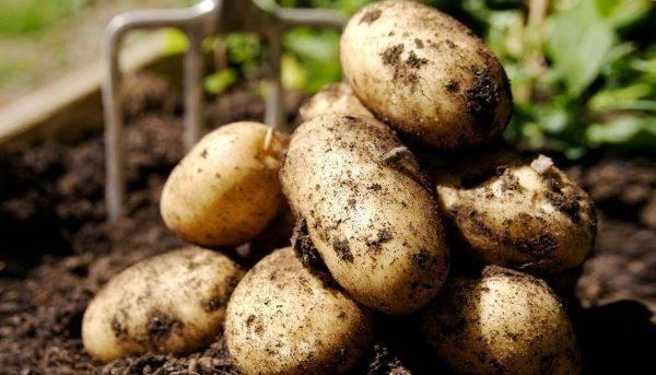 Картофель в теплице